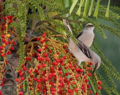 Tropical Mockingbird,  photo taken Gamboa, Panama