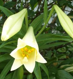 Walking In a Summer Garden Land: Easter Lilly
