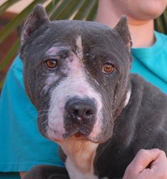 Athena, rescued Bully mix, survivor of cruel fighting and breeding exploitation, debuting for adoption today at Nevada SPCA: http://nevadaspca.blogspot.com/2014/12/can-i-win-love-without-being-exploited.html