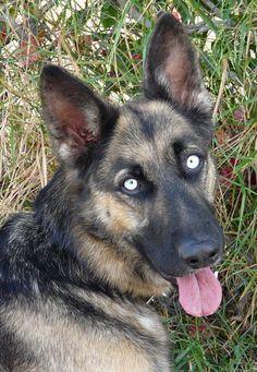 Westside German Shepherd Rescue of Los Angeles. German Shepherd dog with blue eyes. Looks purebred.