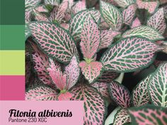 Plantas Indoor, Nerve Plant, Pink Plant, Colorful Plants, Plant Care, Garden Inspiration, Color Trends, Botanical Gardens, Pantone