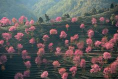 "fotojournalismus: "" Pink foliage dotted the landscape in Nanjian Yi, Yunnan, China on December 9, 2012. (Qin Qing/Xinhua) """