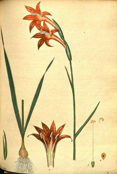 111268 Gladiolus watsonius Thunb. [as Gladiolus praecox Andrews]  / The botanist's repository [H.C. Andrews], vol. 1: t. 38 (1797-1798) [H.C. Andrews]