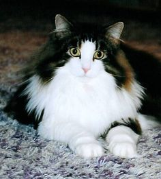 Kashi Saga - Extra Special Cats - Norwegian Forest Cat Breeder New Jersey, USA