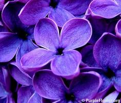Types of Purple Flowers | purple rose purple lily purple lilac purple orchid and etc