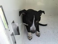 ~~DIES WEDNESDAY 07/13/16- CRITICAL!!! HOUSTON  This DOG - ID#A462432  I am a female, black and white Labrador Retriever mix.  The shelter staff think I am about 5 months old.  I have been at the shelter since Jun 24, 2016.  Harris County Public Health and Environmental Services.  https://www.facebook.com/harriscountyanimalshelterpetshouston/videos/1173627769367686/