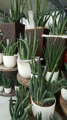 Green Plants, Tropical Plants, Cactus Plants, Indoor Tree Plants, Trees To Plant, Succulent Landscaping, Planting Succulents, Container Plants, Container Gardening