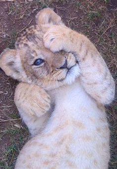 Baby Lion that would not eat his other friends:)