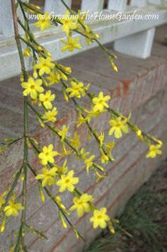 For some winter color consider planting winter jasmine. It reliably blooms each winter with yellow blooms well before fosythias. Winter Jasmine, Winter Colors, Cool Plants, February, Home And Garden, Bloom, Gardening, Allotment, Landscape