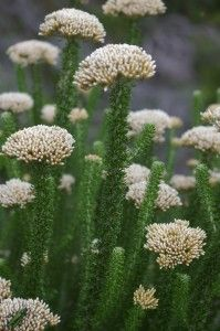 Fynbos for coastal gardens Pretty Plants, Plants, African Plants, Plant Species, Cacti And Succulents, Fynbos, Planting Herbs, Trees To Plant, Waterwise Garden