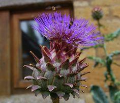 The cardoon (Cyanara cardunculus) loved by bees and hoverflies