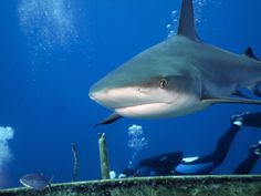Just one of the many Caribbean reef sharks that joined us on the wreck of the Austin Smith this past charter: March 2 - 9, 2013