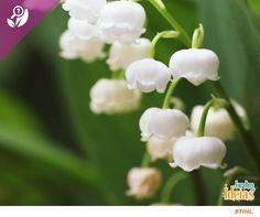 O Lírio-do-vale é uma espécie perfeita para a forração de locais em que a grama não se desenvolve por conta da umidade ou sombra. Além dos jardins e canteiros, a flor pode ser facilmente cultivada em vasos ou jardineiras. Seu nome significa pureza.