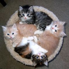 Soon these Kittens need a bigger snuggle together bed :) :) :) :) ... - Yahoo Image Search Results