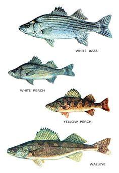 Fish Classification Poster, Freshwater Fish, White Bass, White Perch, Yellow…