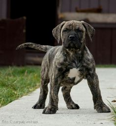 El Cucuy, #presacanario #puppy #guarddog #workingdog #k9