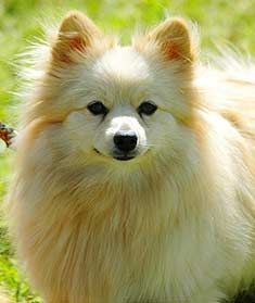 White Pomeranian Dog Price In Hyderabad White Pomeranian Puppies, Pomeranian Breed, Pomeranians, Dog Price List, Pet Kennels, Dog Portraits, New Puppy, Beautiful Dogs, Dogs And Puppies