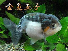 透明鱗白黒らんちゅう (とうめいりんしろくろらんちゅう) never seen goldfish coloration like this before!