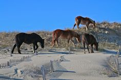NORTH CAROLINA: The Controversy Behind the Outer Banks Wild Horses