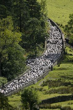 U.K. Driving the sheep to a new field in the Lake District, Cumbria,  England