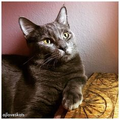 That moment when you realize your cat is better-looking than you are. #peanutbutterandjealous #russianblue #beautifulcat