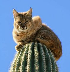 Bobcat on Cactus How did he get up there? The cat who got stuck up a cactus He's found . I Love Cats, Big Cats, Cats And Kittens, Cute Cats, Beautiful Creatures, Animals Beautiful, Animals And Pets, Cute Animals, Nature Animals