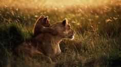 Mother Lion with lion baby
