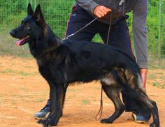 "COURAGE • LOYALTY • INTELLIGENCE • VERSATILITY ""The most striking feature of the correctly bred German Shepherd are firmness of nerves, attentiveness, unshockability, tractability,..."