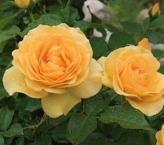 Julia Child rose. disease resistant