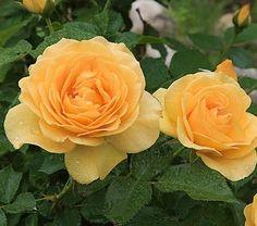 Julia Child rose. disease resistant