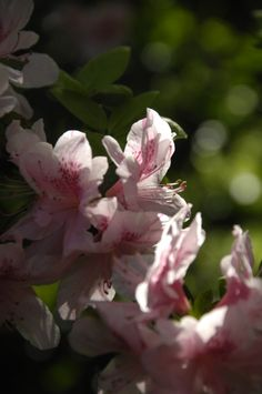 Playing with light - Pink azaleas