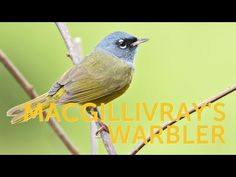 MacGillivray's Warbler spends most of its time lurking in dense underbrush. When it pops into view, birders identify it by its bright yellow underside, green. Dark Eyes, Environmental Issues, Nuthatches, Wrens, Finches, Songs, Kentucky, Wildlife, Birds