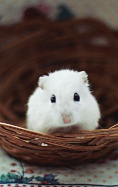 White Dwarf Hamster. What a cutie!