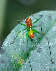 Predaceous katydid (Arachnoscelis feroxnotha?)