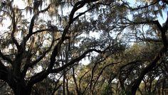 Best Oak Trees for Houston — Falon Land Studio
