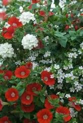 Basket Mix Fire And Ice Mix-Plants Buy 1 Get 1 FREE! Buy 1 Get 1, Fire And Ice, Hanging Baskets, Outdoor Living, Plants, Stuff To Buy, Patio, Color, Free