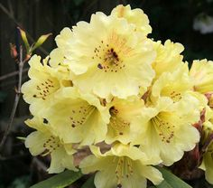 Hirsutum.info -- Rhododendron Hybrids/cultivars: 'Berg's Yellow'