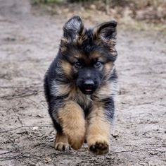 Wicked Training Your German Shepherd Dog Ideas. Mind Blowing Training Your German Shepherd Dog Ideas. German Shepherd Pictures, German Shepherd Dogs, German Shepherds, Black Shepherd, Puppy Obedience Training, Best Dog Training, Training Tips, Malinois, Easiest Dogs To Train