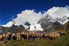 A Herd an the mountains - Ancash, Peru