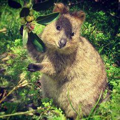 Quokka found on Rotnest Island, Western Australia