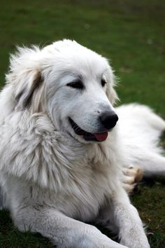 Love Great Pyrenees!  This looks just like our Samson - all 140 lbs. of him!