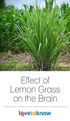 The effect of lemon grass on the brain encompasses a wide array of benefits and poses very little risk of adverse reactions. Practitioners of Brazilian . Lemon Grass Tea Benefits, Lemon Health Benefits, Healing Herbs, Medicinal Herbs, Grow Lemongrass, Green Tea Oil, Drying Herbs, Herbal Medicine, Planting Flowers