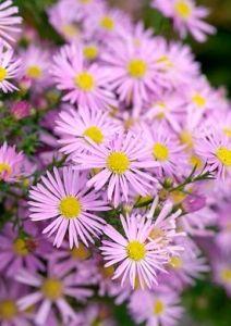 herfstaster_Pink_Spray Aster, Plants, Perennials, Gardenista, Garden Inspiration, Flowers