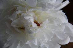 White Peony Photograohy Floral Wall Art Botanical Print Dreamy Garden Moody Macro Photograph Cottage Style Decor Living Room Bedroom Flowers
