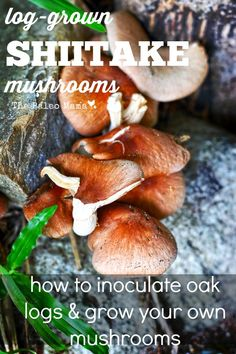 Learn how to inoculate oak logs to grow your own log-grown shiitake mushrooms! http://thepaleomama.com/2015/06/log-grown-shiitake-mushrooms/