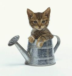 Kitten Sitting in a Watering Can : Custom Wall Decals, Wall Decal Art, and Wall Decal Murals | WallMonkeys.com