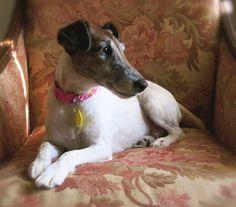 Petfinder Adoptable | Dog | Smooth Fox Terrier | DUMONT, IA | MOXIE