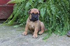 Bullmastiff Puppies for Sale | Lancaster Puppies Bullmastiff Puppies For Sale, Labrador Puppies For Sale, Lancaster Puppies, Dogs, Doggies, Dog