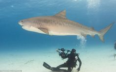 Tiger shark #GoEco AND #volunteerabroad