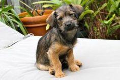 Terrier Puppy 4: Border Terrier, Dog; Oakland, CA